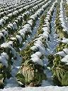 白菜畑の白い点線