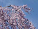 しだれ桜の一枝