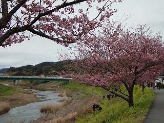川沿いの桜並木と黄色い菜の花